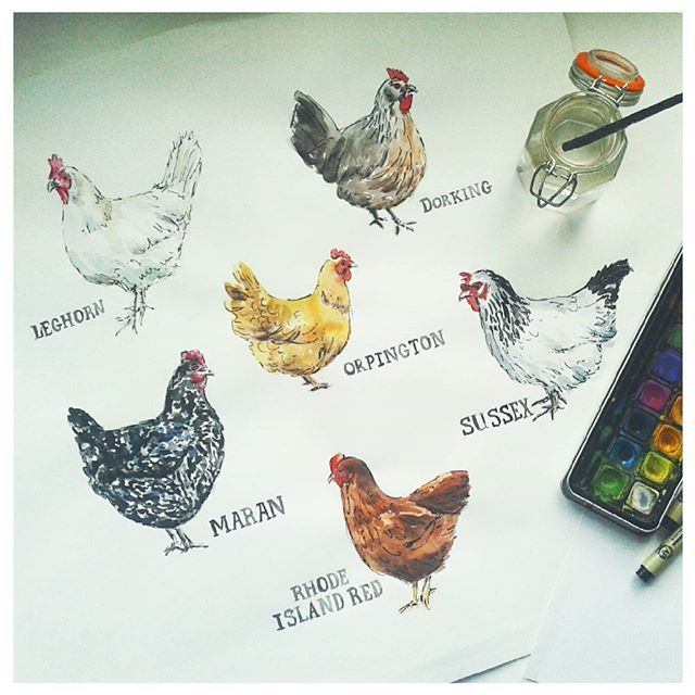 We're getting some chickens in a few weeks. I never knew there were so many breeds, fun to paint too!  #illustration #chickens #chickenillustration #watercolour #blackpen #linework #sketching #farmanimals #fowl #birds #artwork #chickenart #artist