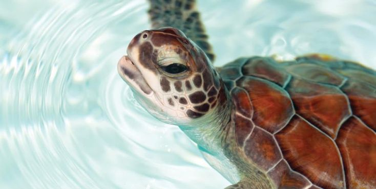 Meet our beautiful new baby loggerhead turtles!
