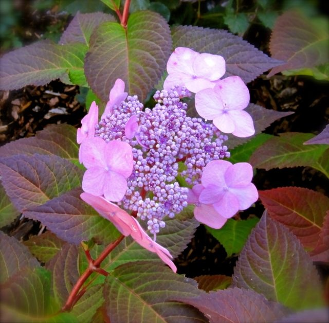 The ever so stunning Twist and Shout with it's lace cap hydrangea flower head.  This is instantly relaxing to sit beside.  The fragrance is wonderful. #PotentialistCanada