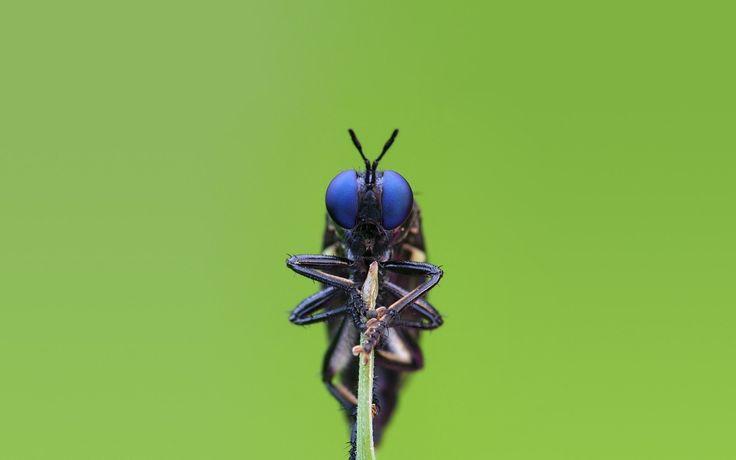 makro obraz - wielkie oczy obrazy, tapety owadów, wektor, niebieski siedzi tła, makro materiał Tła 1280x800 zwięzły makro tapety