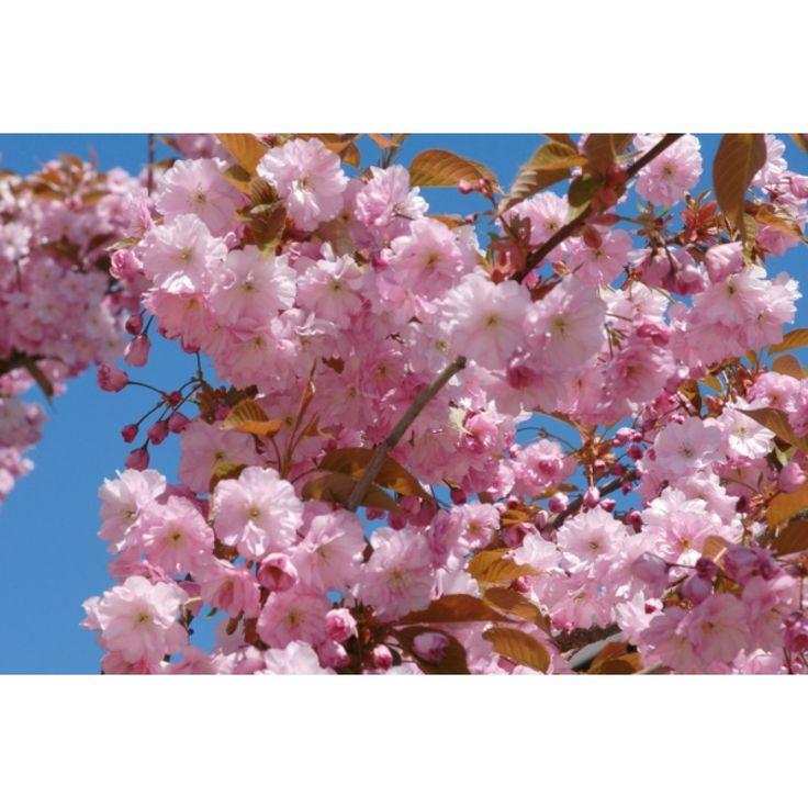 Japankirsebær, oppstammet, 50 cm