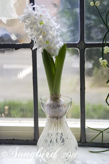 150 best images about garden of eden on pinterest spring bulbs lemon seeds and tulip - Planting hyacinths indoors ...