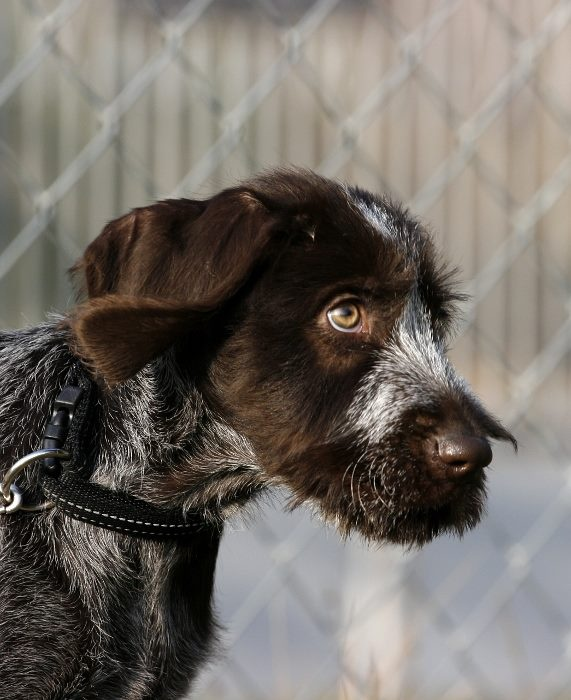 German Wirehaired Pointer | DOGS IV | Pinterest | Puppys ...
