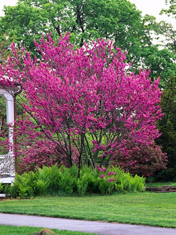 1000 images about trees for landscaping on pinterest for Slender trees for small spaces