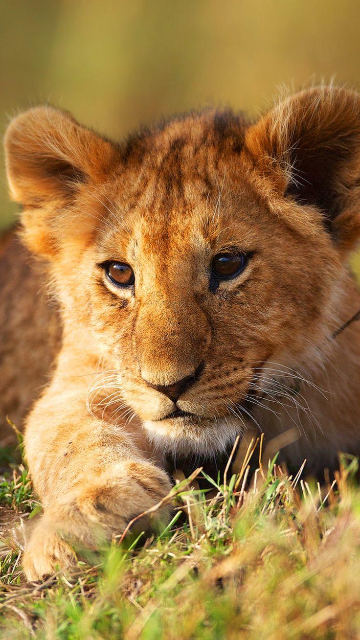 Best 25+ Lion Cub Ideas On Pinterest