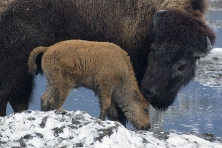 Mom and Baby Bison Photo by Sarah Jackson -- National Geographic Your Shot