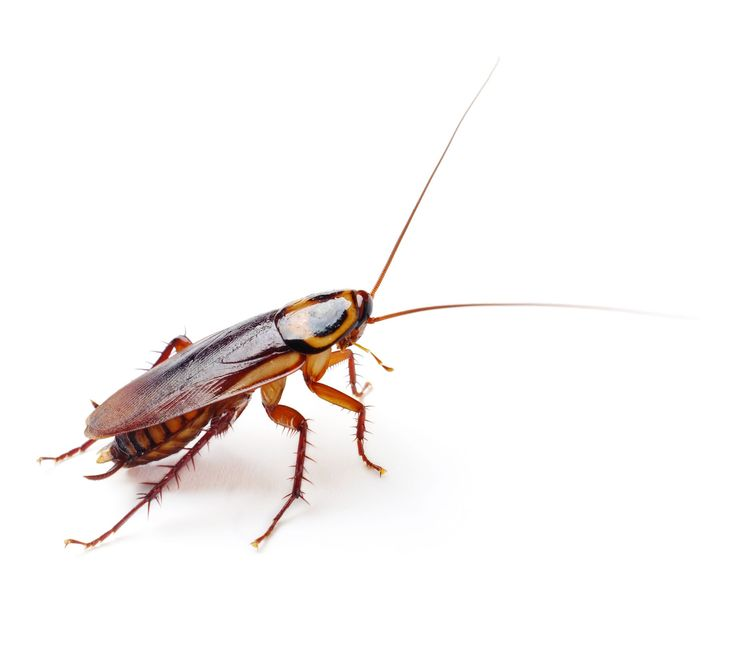 Can All Cockroaches Fly?   If you thought all cockroaches could fly, think again. While many cockroach species have wings, some can only crawl. Discover more facts on cockroaches. #TerminixBlog