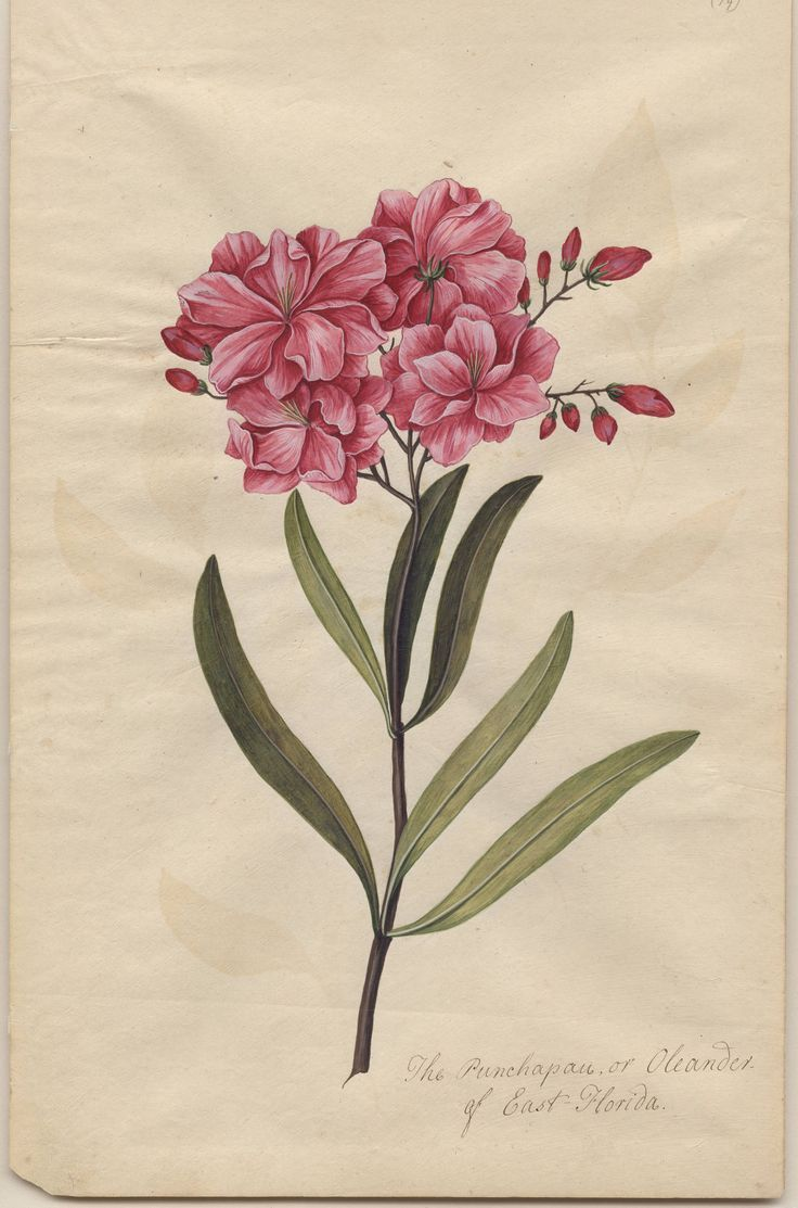 Oleander vintage botanical (bibliodyssey -creative commons): Botanical Flowers, Botanical Bibliodyssey, Vintage Botanical Prints, Botanical Illustrations, Botanical Art, Photo, Oleander Vintage