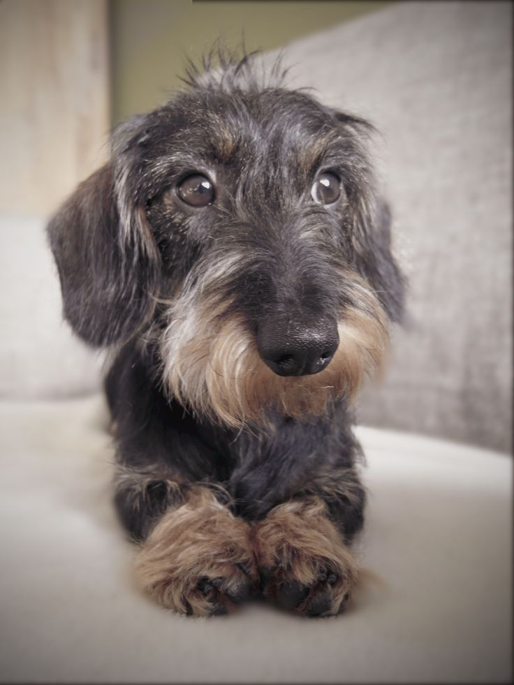 25+ best ideas about Miniature wire haired dachshund on ...