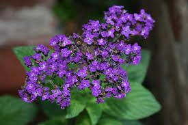 Image result for heliotrope arborescens