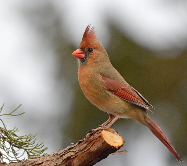 18 Best Images About Cardinals On Pinterest