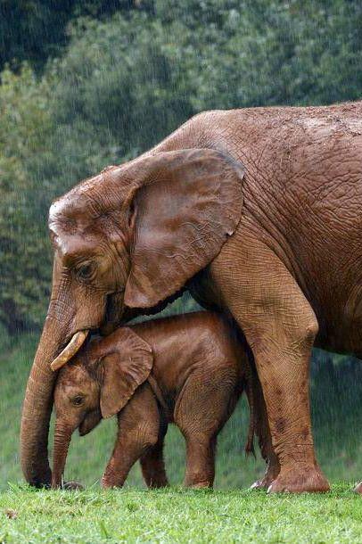 Mama elephant shielding her baby from the rain