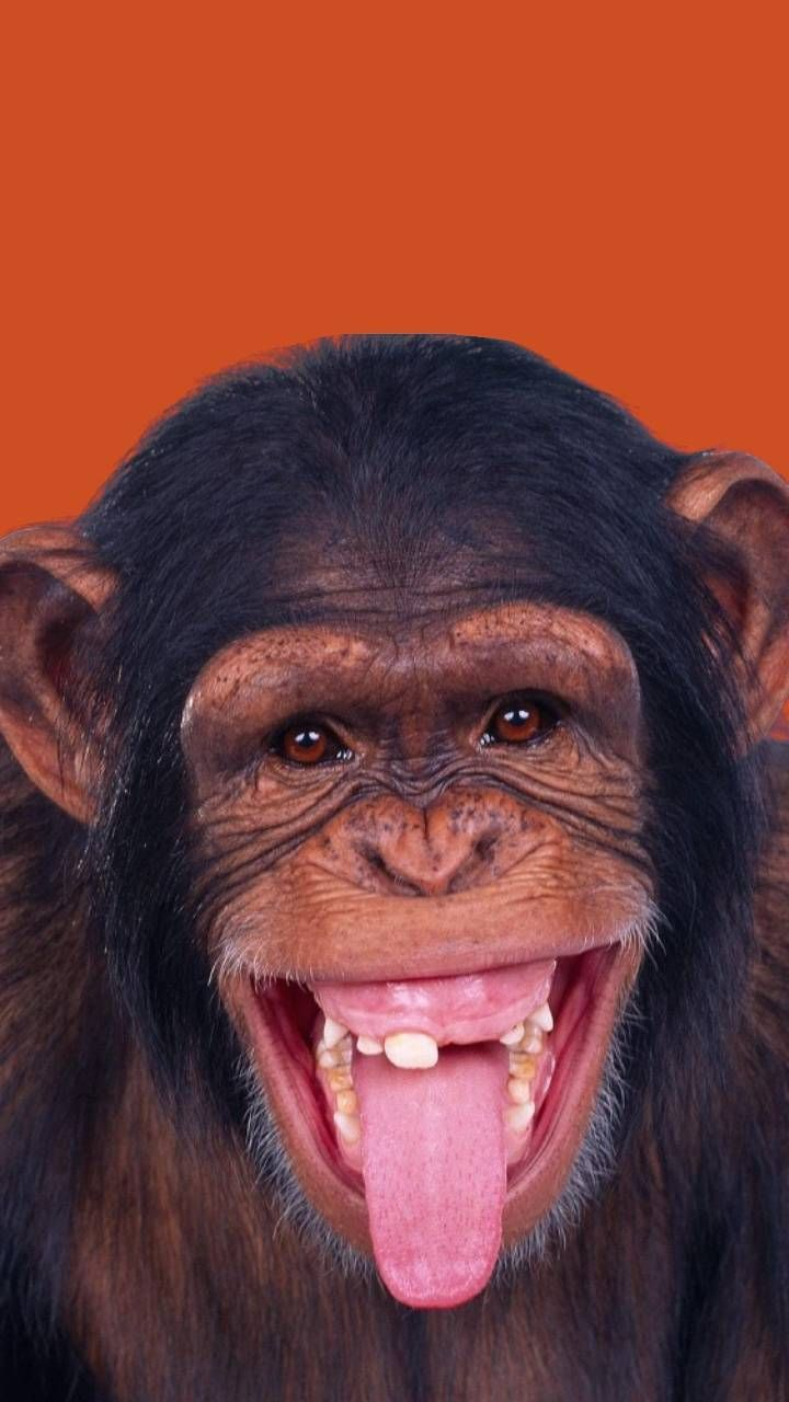 Monyet Lucu Gif Monyet Lucu Funny Discover Share Gifs Monkeys Funny Funny Animal Videos Funny Animals