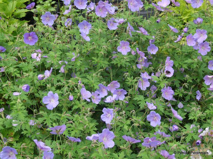 Image result for geranium himalayense ' Irish Blue'