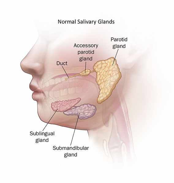 illustration of normal salivary glands                                                                                                                                                                                 More