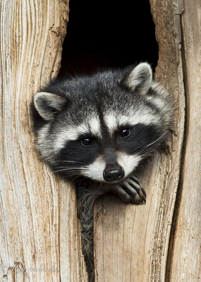 One of the raccoon's most distinctive features is its facial mask. The black fur extending from the eyes contrasts sharply with the surrounding white fur. Reminiscent of a bandit's mask, this unique physical characteristic has enhanced the animal's reputation for mischief. | ☀Raccoon Portrait by Rita Ivanauskas on 500px*