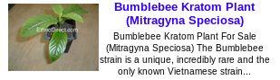 Bumblebee Kratom Plant (Mitragyna Speciosa)