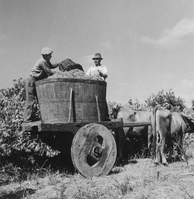 Grape harvest (Portugal) - photo by Artur Pastor