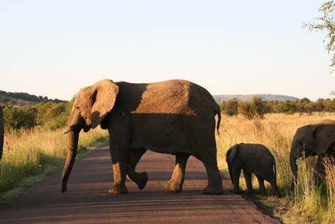Pilansberg Game Reserve elephant family going for a stroll.