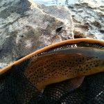 Nice trout from Fly Fishing the South Holston River in Tennessee TN, here is a link to my gallery for the river http://tnfishingreport.com/videos-and-photos/fishing-photos/river-photos/south-holston-river-gallery/