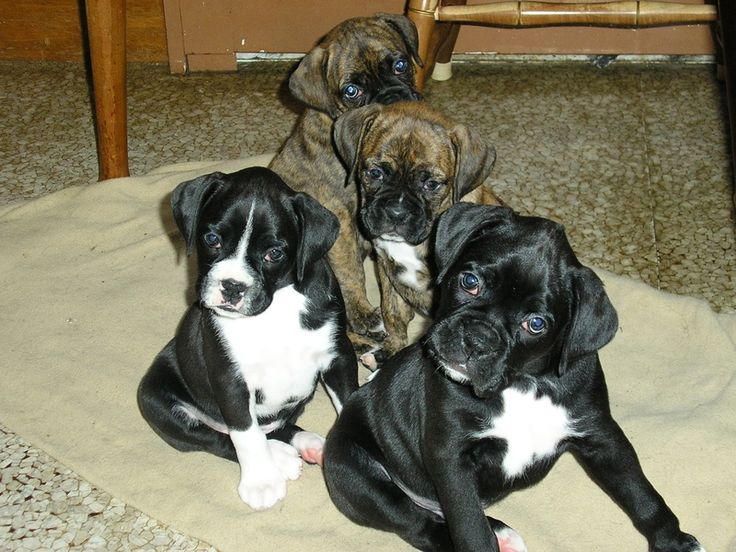 PHOTO GALLERY - CODMAN HILL BOXERS * SEALED BRINDLE BOXER PUPPIES FOR SALE