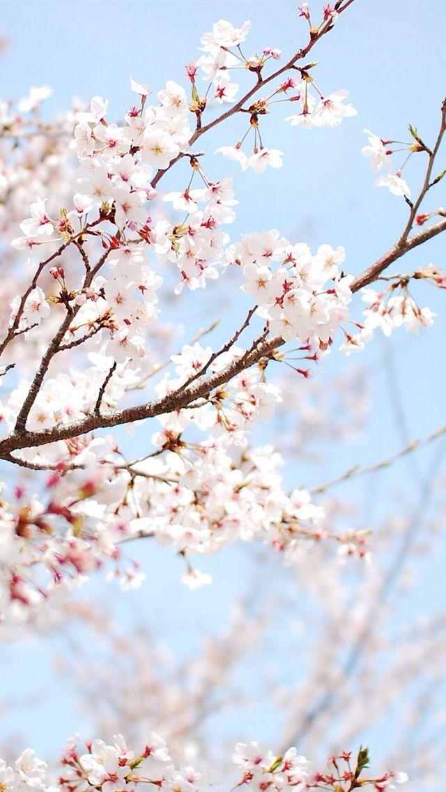 Https All Images Net Wallpaper Iphone Flowers 81 Wallpaper Iphone Flowers 81 Cherry Blossom Wallpaper Spring Wallpaper Flower Wallpaper Cherry blossom wallpaper hp