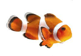 Image result for clownfish