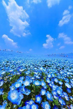 国営ひたち海浜公園のネモフィラと菜の花と鯉のぼり|青空と風景と花たまに料理