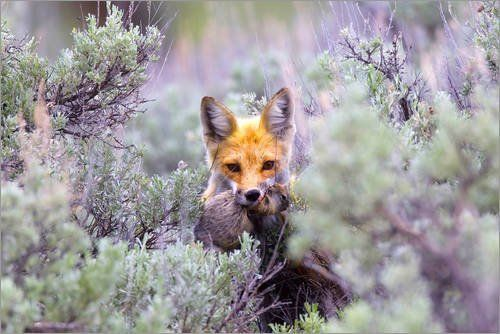 Forex-Platte 120 x 80 cm: A red fox, Vulpes vulpes, stands amidst shrubs after catching a rodent. von Robbie George / National Geographic Jetzt bestellen unter: http://www.woonio.de/p/forex-platte-120-x-80-cm-a-red-fox-vulpes-vulpes-stands-amidst-shrubs-after-catching-a-rodent-von-robbie-george-national-geographic/