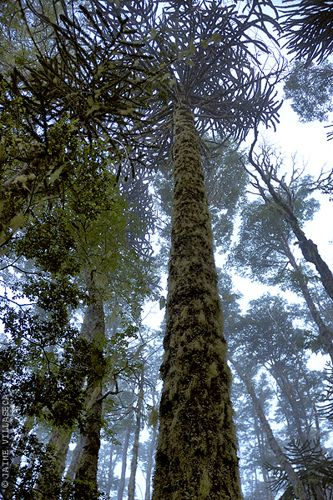 Parque Nacional Nahuelbuta  https://flic.kr/p/6pvAs9   Araucarias en Nahuelbuta