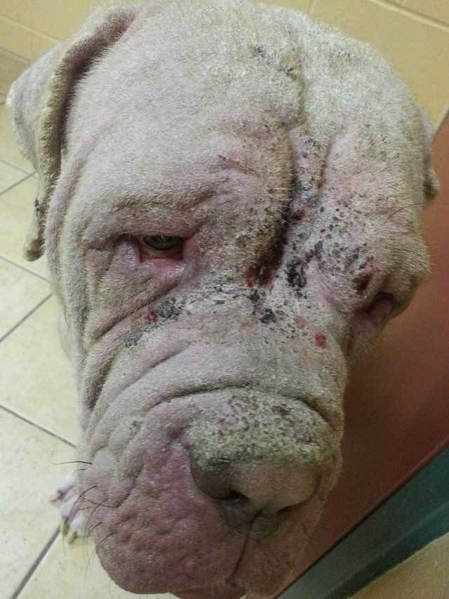 Gordon is a 1-year-old Mastiff who was rescued with severe mange. A Neapolitan Mastiff just over a year old has lived his whole life with mange when France Turcotte of Valley Mastiff Rescue received a plea from his owners for help.