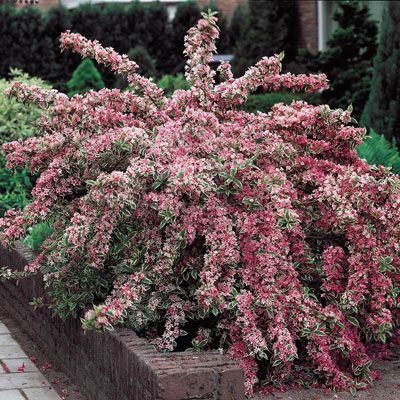 72 best images about flowers bushes shrubs zone 5 on pinterest trees and shrubs white flowers. Black Bedroom Furniture Sets. Home Design Ideas