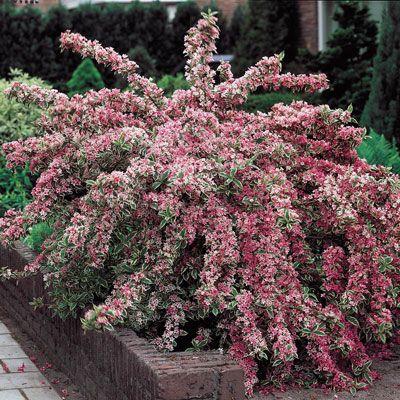 72 best flowers bushes shrubs zone 5 images on pinterest for Spring hill nursery garden designs