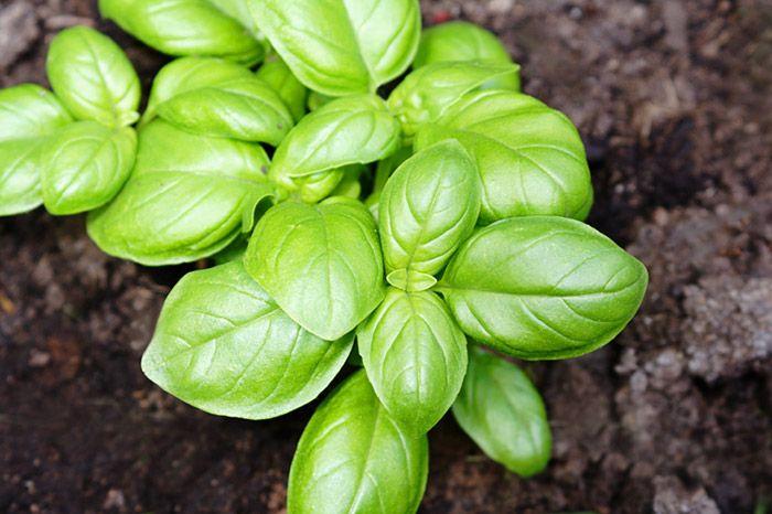 Manjericão: As folhas do manjericão são muito utilizadas para molhos e temperos. O seu odor, além de muito agradável, ajuda a repelir moscas e mosquitos.