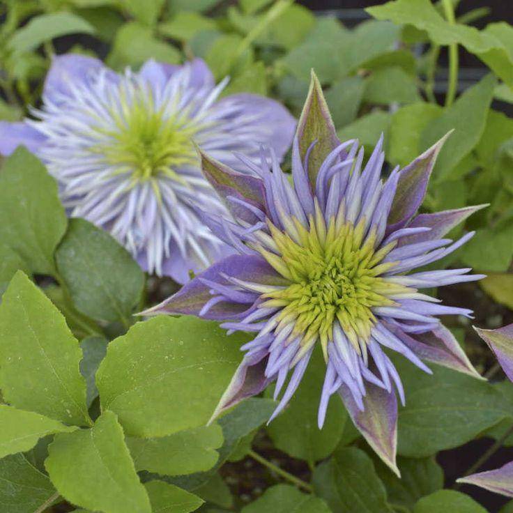 670 best clematis images on pinterest flower gardening garden plants and clematis plants