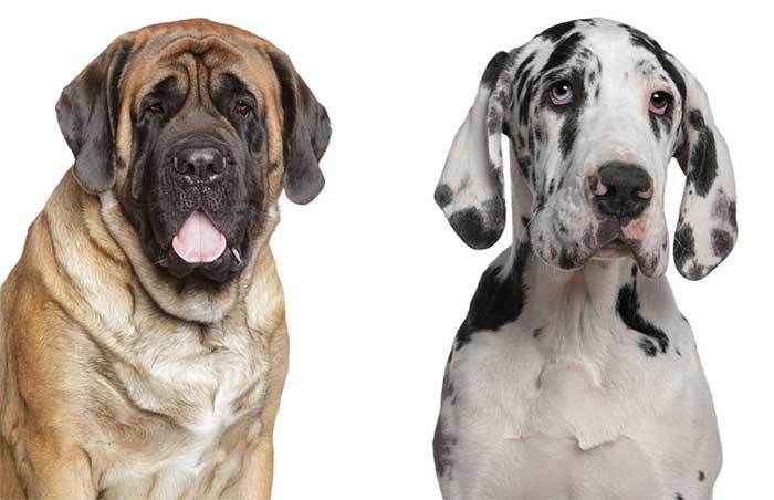 All About The Great Dane Mastiff Mix Daniff Facts Information