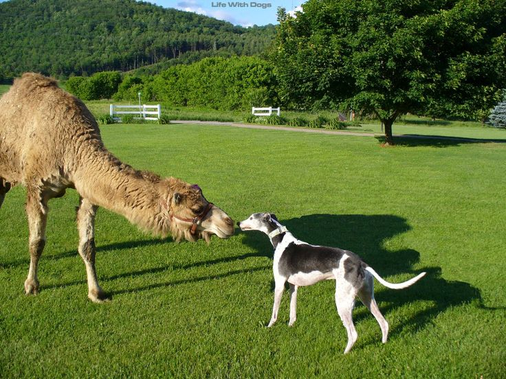 Nigel meets a camel! He has the coolest life ever. | Greyhounds | Pinterest | Dogs, Italian greyhound and Animals