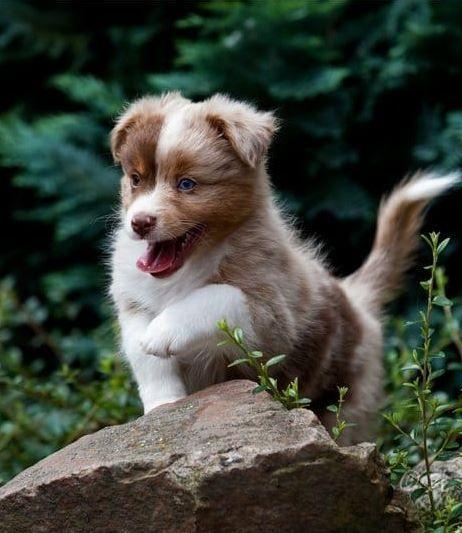 Miniature Australian Shepherd sucht ein neues Zuhause