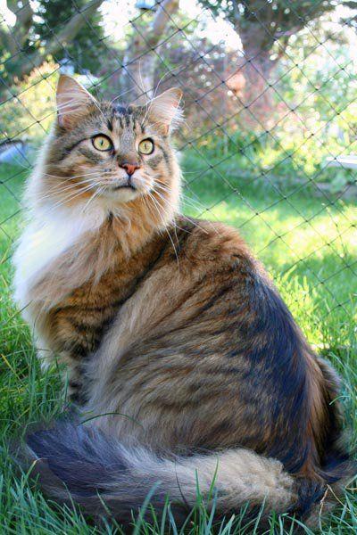 #MaineCoon #Black #Tabby #Mackerel #White #Cats  EP. Smirnoff Feline Fantasy Photo by #MoniqueBeekmans #FelineFantasy