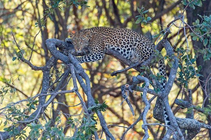 Female leopard on Kapinga Island - game drive from Shumba Camp, Zambia