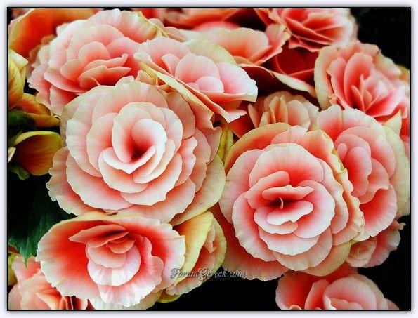 Yumrulu Begonya Çiçeği - Begonia Tuberhybrida - Sayfa 2 - Forum Gerçek