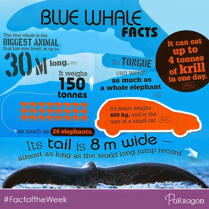London's Natural History Museum plans to move a huge blue whale skeleton into their entrance hall! Wow! Learn more about these amazing creatures with our top blue whale facts! Facts from: '1000 Strange But True Animal Facts'  #BlueWhale #NaturalHistoryMuseum #AmazingFacts #1000Facts #factoftheweek