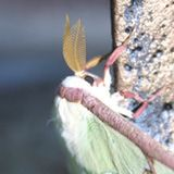 Antennae: The male luna moth has plumose (feathery) antennae to detect the scent of females.