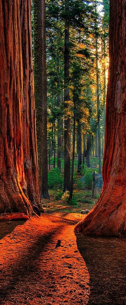 Sequoia Road | Grant Grove of giant sequoias in Kings Canyon National Park, California, USA | by Larry Gerbrandt #sequoia