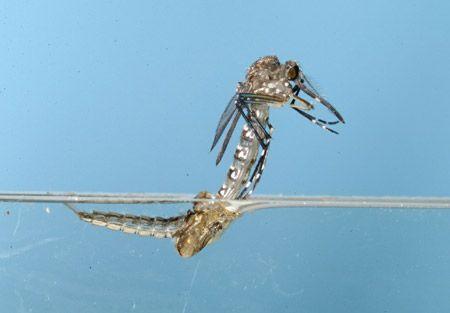 Emergencia adulto mosquito