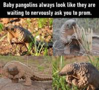 funny and cute baby pangolins