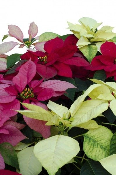 14 Best Flowers Poinsettias Images On Pinterest