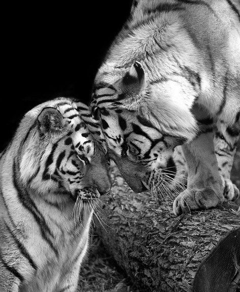 Tiger Love Photo - Photography by Stephanie McDowell