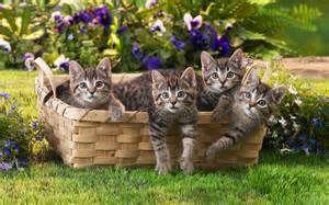 jonge grijze katjes in mand
