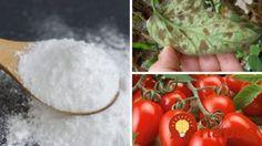 Pospyte ňou pôdu, pridajte ju do vázy a nastriekajte na listy: Jedlá sóda je pre vaše rastlinky hotovým zázrakom!